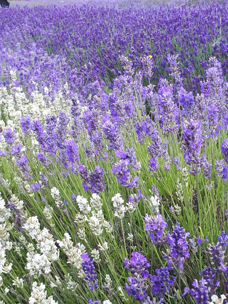 lavender, smell,  mood, wellbeing, relaxation, science, aromatherapy, 52 project, neuroscience, brain, affect of smell on brain, Iain Price, Dulcie Swanston